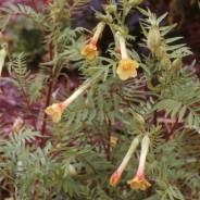 Plant of the month – June – Polemonium Paucifolium