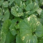 Petasites-japonica-variegata
