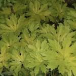 petasitesgoldenpalms