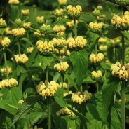 Plant of the Month – May – Phlomis Russeliana