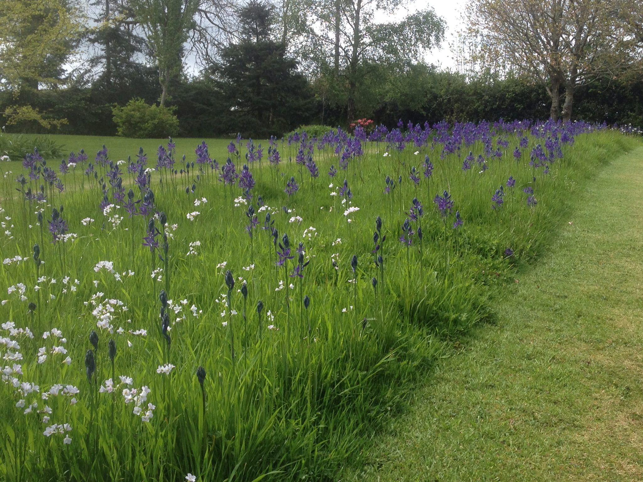 Camassia cricket pitch lewis cottage plants for Wild grass gardens