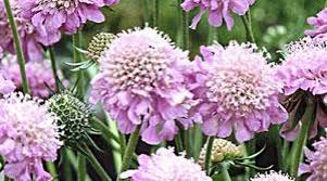 Scabious Eileen's Pink