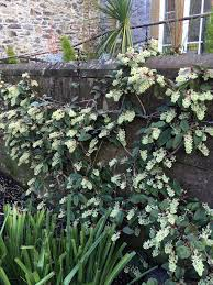 Ribes laurifolium Rosemoor form